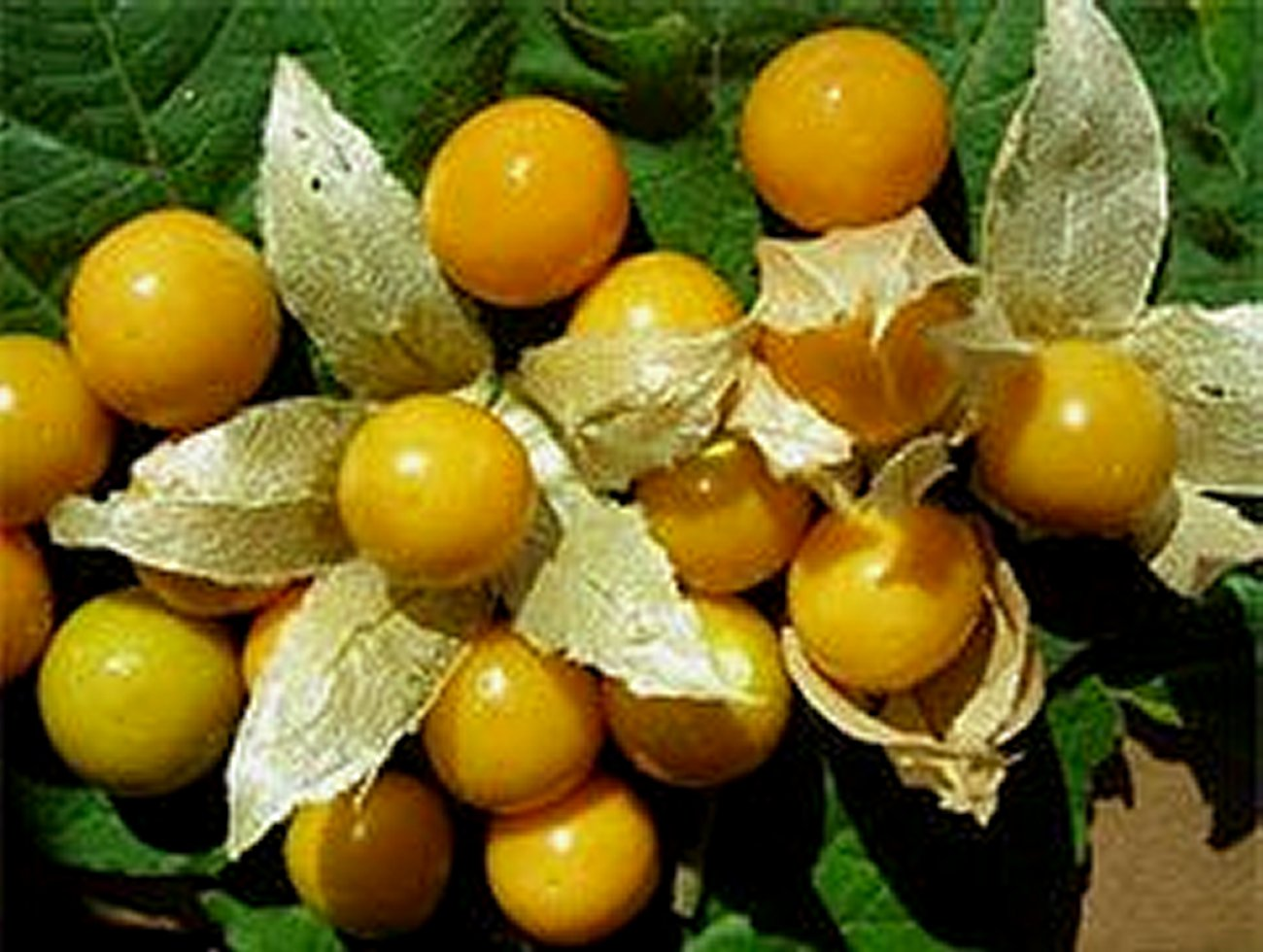 Cape Gooseberry  (Physallis Peruviana)