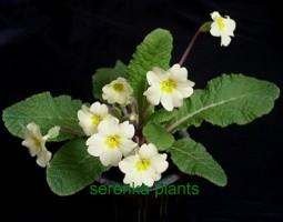 Wild Primrose (Primula vulgaris)