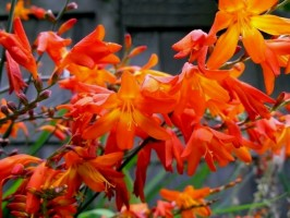 Crocosmia 'Venus' (Crocosmia (formerly Monbretia) 'Venus')