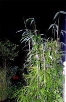 Bamboo (Pseudosasa Japonica)