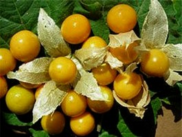 Cape Gooseberry (Physallis Peruviana)