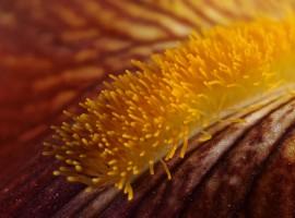 Iris 'Kent Pride' (Iris germanica 'Kent Pride' )