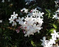 Jasmine (Jasminum Officinale)